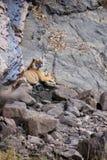 Tygrys przy waterhole Obraz Royalty Free