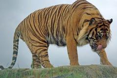 tygrys samartran zdjęcie royalty free