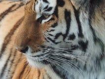 Tygrys siła piękno grace zdjęcie stock
