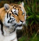 tygrys siberian Fotografia Stock