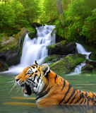 tygrys siberian Obraz Royalty Free