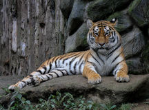 tygrys siberian Zdjęcie Stock