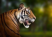 tygrys siberian obrazy royalty free