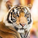 tygrys siberian fotografia royalty free