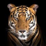 tygrys siberian Zdjęcia Royalty Free