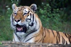 tygrys siberian dzikich Fotografia Royalty Free