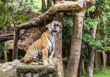 Tygrys siedzi w akci huczeniu obrazy stock