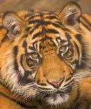 tygrys sumatryjskiej Obrazy Royalty Free