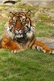tygrys sumatryjskiej obrazy stock