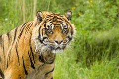 tygrys sumatryjskiej Zdjęcia Stock