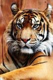 tygrys sumatryjskiej Fotografia Royalty Free