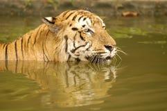 tygrys sumatryjskiej Fotografia Stock