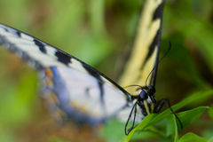 tygrys swallowtail wschodni Zdjęcie Stock