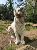 tygrys szczęśliwy Fotografia Royalty Free