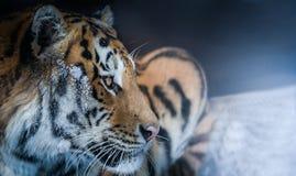 Tygrys w śnieżnym zima lesie Fotografia Stock