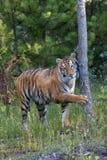 Tygrys w drewnach Fotografia Royalty Free