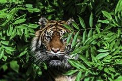 Tygrys w drzewie obraz stock