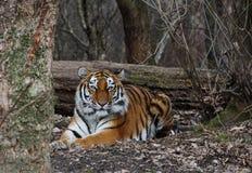 Tygrys w lesie Zdjęcie Royalty Free
