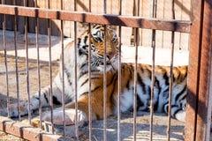 Tygrys w niewoli w zoo za barami Władza i agresja w klatce Obraz Royalty Free