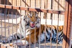 Tygrys w niewoli w zoo za barami Władza i agresja w klatce Zdjęcie Stock