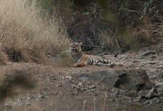 Tygrys w Ranthambhore życia dzikim sanktuarium Obraz Stock