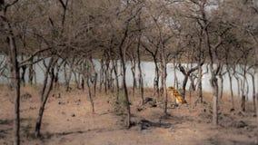 Tygrys w suchym lasowym siedzącym brzeg rzeki zdjęcia stock