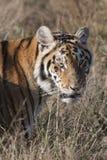 Tygrys w trawie zdjęcie royalty free