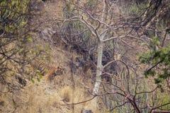 Tygrys w trawie Fotografia Royalty Free