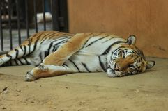 Tygrys w zoo Zdjęcie Royalty Free