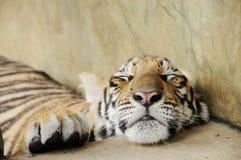 Tygrys w zoo Obrazy Stock