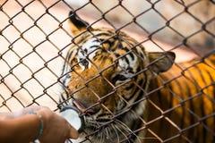 Tygrys w zoo Zdjęcie Stock