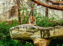 Tygrys w zoo obraz stock