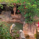 Tygrys w zoo Fotografia Royalty Free