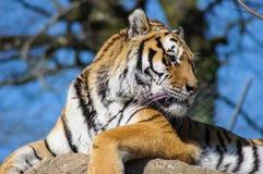 Tygrys w zoo klatce Fotografia Royalty Free
