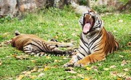 Tygrys warczy Obraz Stock