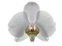 tygrys whiteorchid orła Zdjęcie Royalty Free