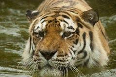 tygrys woda Obraz Royalty Free