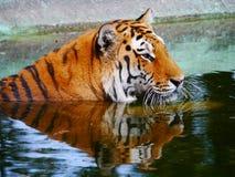 tygrys woda Fotografia Stock