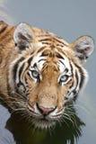 tygrys woda Obrazy Stock
