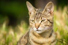 Tygrys wzorzystości bezpański kota obsiadanie w trawie i pozować Obrazy Stock