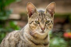 Tygrys wzorzystości bezpański kota obsiadanie w trawie i pozować Obraz Royalty Free