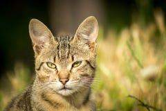 Tygrys wzorzystości bezpański kota obsiadanie w trawie i pozować Zdjęcie Stock
