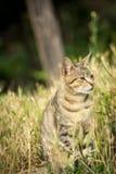 Tygrys wzorzystości bezpański kota obsiadanie w trawie i pozować Obraz Stock