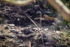 Tygrys z jego zdobyczem Zdjęcie Royalty Free