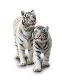 tygrysa biel dwa Zdjęcia Royalty Free