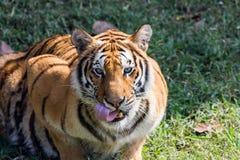 Tygrysa duzi spojrzenia przy ja bezpośrednio Fotografia Stock
