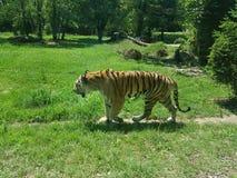 Tygrysa im park Obrazy Stock