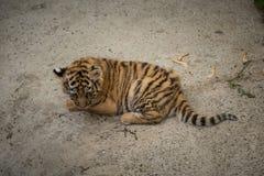 Tygrysa lisiątko Obraz Royalty Free
