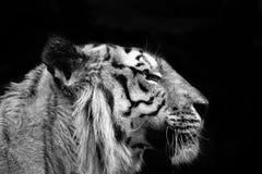 Tygrysa profil Obrazy Royalty Free