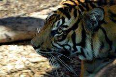 Tygrysa profilu zakończenie up Obrazy Royalty Free